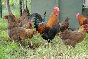 A flock of Welsummers