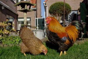 A pair of Partridge Wyandotte bantams